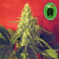Black Dance Marijuana Strain