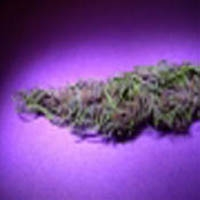 Black Haze Marijuana Strain