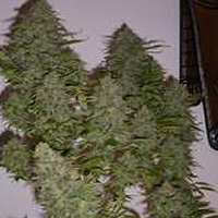 Black Russian Marijuana Strain