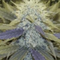 BMW Marijuana Strain