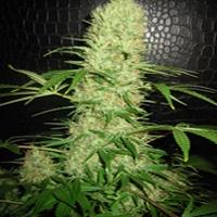 Bom Shankar Marijuana Strain