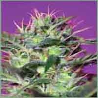 Botafumeiros Marijuana Strain
