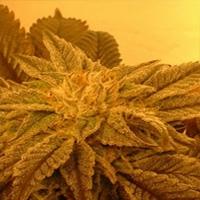 Brenda&#39s Skunk x NL Marijuana Strain