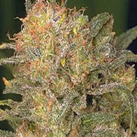 Bubble Gum Marijuana Strain
