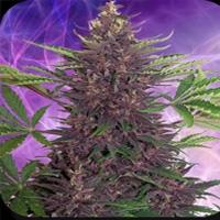 Buddha Purple Kush Marijuana Strain
