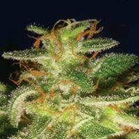 Buddha Tahoe Marijuana Strain