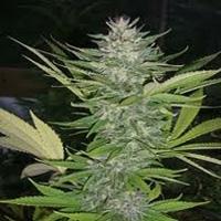 BrainWarp Marijuana Strain