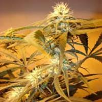 Blue Dream Kush Marijuana Strain