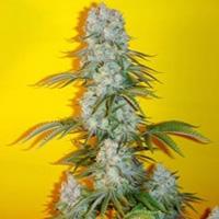 Blue Fin Marijuana Strain