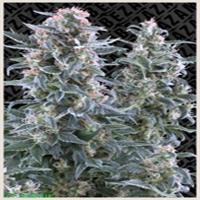 Blue Invader Marijuana Strain