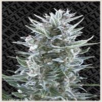 Blue Magnum Marijuana Strain