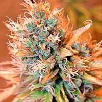 Blue Medi Kush Marijuana Strain