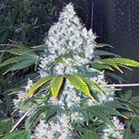 Blue Mystic Marijuana Strain