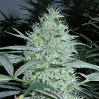 Blue Neville&#39s Chem Marijuana Strain