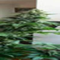 Blue Rhino Marijuana Strain