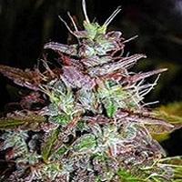 Blue Velvet Marijuana Strain