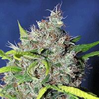 Blueberry Bud Marijuana Strain