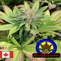 Blueberry Punch Marijuana Strain