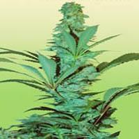 Blueberry x Power Plant  Marijuana Strain
