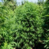 BlueChem Marijuana Strain