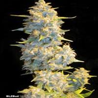BLZ Bud Marijuana Strain