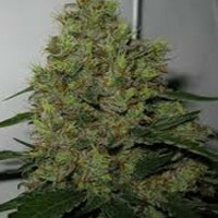 Blue Chronic Marijuana Strain