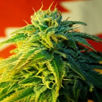 Blacktooth Marijuana Strain