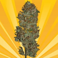 Blue Angel Marijuana Strain