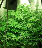 Ethiopian Highland   Marijuana Strain