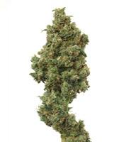 Euforia   Marijuana Strain