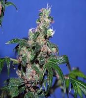 Eve   Marijuana Strain