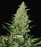 Exile   Marijuana Strain