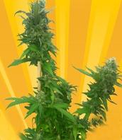 Guerrilla Ryder Marijuana Strain