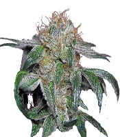 GSPOT Marijuana Strain