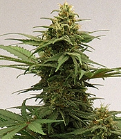 Growi Original Haze Marijuana Strain