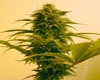 Grenadine Marijuana Strain
