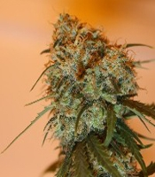 Golden Tiger   Marijuana Strain