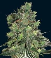 Goliath   Marijuana Strain