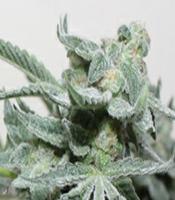 Grape Stomper BX Marijuana Strain