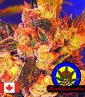 Grapefruit Haze Marijuana Strain