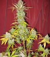 Grapefruit x Blueberry Marijuana Strain