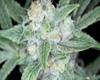 Grape Stomper x OG Kush Marijuana Strain