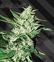 Great White Mamut Marijuana Strain
