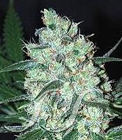 Green Love Potion Marijuana Strain