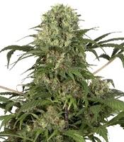 Green Spirit Marijuana Strain