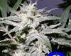 Grapeskunk Marijuana Strain