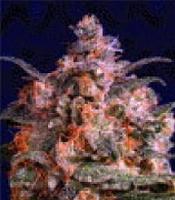 Hempstar Marijuana Strain