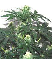 Herijuana Jack 33 Marijuana Strain