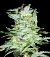High Tension   Marijuana Strain