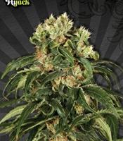 Hijack   Marijuana Strain